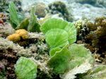 Mermaid\\\'s Fan Plant Marine Plants (Sea Water)  Photo