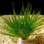 Blyxa japonica Photo and care