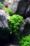 Hemianthus callitrichoides Cuba Photo and care