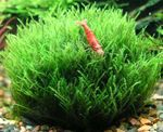 Nano Moss Photo and care