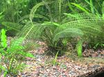 Madagascar Lace Plant Freshwater Plants  Photo