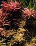 Limnophila aromatica Photo and care