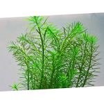 Rotala najean Photo and care