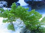 Grape Caulerpa Marine Plants (Sea Water)  Photo