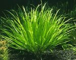 Blyxa aubertii Freshwater Plants  Photo