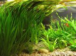 Vallisneria gigantea Freshwater Plants  Photo