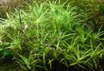 Stargrass Photo and care