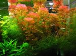 Red cabomba Freshwater Plants  Photo