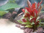 Red hygrophila Freshwater Plants  Photo