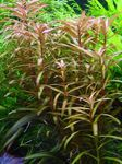 Ammannia gracilis Freshwater Plants  Photo