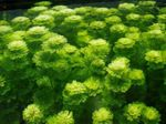 Limnophila sessiliflora Freshwater Plants  Photo