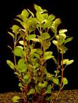 Ludwigia palustris Freshwater Plants  Photo