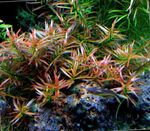 Ludwigia arcuata Freshwater Plants  Photo