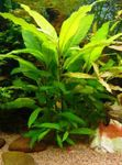 Giant hygrophila Photo and care