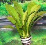 Sagittaria eatoni Photo and care