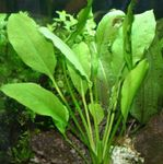 Broadleaved Amazon Sword Photo and care