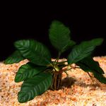 Anubias coffeefolia Freshwater Plants  Photo