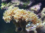 Hammer Coral (Torch Coral, Frogspawn Coral) Photo and care