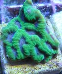 Pineapple Coral (Moon Coral)   Photo