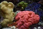 Lobed Brain Coral (Open Brain Coral)   Photo