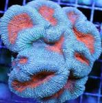 Photo Aquarium Lobed Brain Coral (Open Brain Coral) (Lobophyllia), light blue