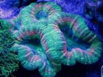 Lobed Brain Coral (Open Brain Coral) Photo and care