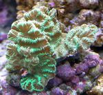 Merulina Coral   Photo