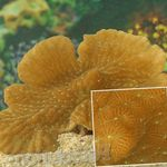 Merulina Coral Photo and care