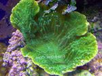 Montipora Colored Coral Photo and care
