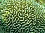 Platygyra Coral Photo and care