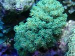 Cauliflower Coral Photo and care