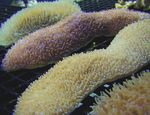 Tongue Coral (Slipper Coral) Photo and care