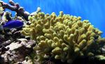 Porites Coral Photo and care