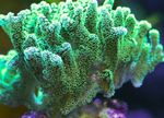 Birdsnest Coral Photo and care