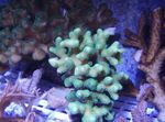 Finger Coral Photo and care
