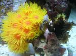 Sun-Flower Coral Orange Photo and care