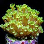 Alveopora Coral Photo and care