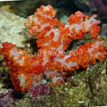 Carnation Tree Coral   Photo
