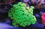 Torch Coral (Candycane Coral, Trumpet Coral) Photo and care