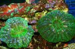 Owl Eye Coral (Button Coral) Photo and care