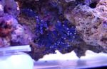 Lace Stick Coral Photo and care