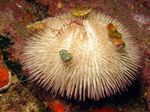 Purple Short Spine Pincushion Urchin Photo and care