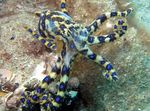 clams Blue Ringed Octopus  Photo