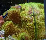 Giant Carpet Anemone Photo and care
