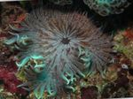 Beaded Sea (Aurora) Anemone Photo and care