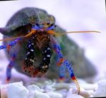Dwarf Blue Leg Hermit Crab Photo and care