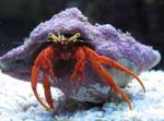Scarlet Hermit Crab Photo and care