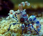 Harlequin Shrimp, Clown (White Orchid) Shrimp  Photo