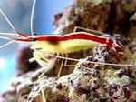 Indo-Pacific White Banded Cleaner Shrimp  Photo