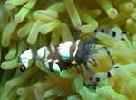 Pacific Clown Anemone Shrimp  Photo